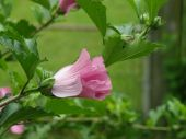 stock photo of rose sharon  - A pink rose of sharon bloom against a green background of leaves and grass.