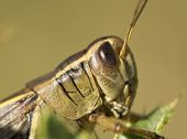 stock photo of hoppers  - Close up of a grass hopper profile - JPG
