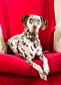 stock photo of bitch  - Brown and white spotted Dalmatian bitch lying in a chair - JPG