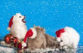 stock photo of christmas puppy  - christmas puppies white Spitz wearing a santa hat and cat - JPG