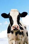 stock photo of cow head  - Holstein Cow in a grassland in northern of Germany - JPG