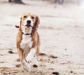 picture of puppy beagle  - Happy jumping and running beagle puppy dog portrait