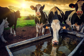 pic of calf  - Herd of young calves drinking water at sunset - JPG