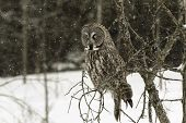 stock photo of snow owl  - Great Grey Owl in a snow storm - JPG