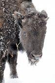 foto of aurochs  - Large male bison in the winter season - JPG