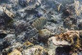 stock photo of grouper  - goliath grouper resting at the bottom of the sea - JPG