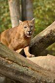 foto of cougar  - Close up big cougar in natural habitat - JPG