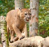 picture of cougar  - Close up big cougar in natural habitat - JPG