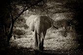 foto of elephant ear  - Elephant in the wild  - JPG