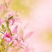 picture of day-lilies  - Pink lilies with copy space - JPG