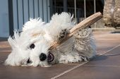 picture of maltese  - puppy dog maltese breed playing with stick - JPG