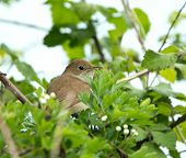 picture of nightingale  - Migrant songbird Nightingale partly concealed in tree - JPG