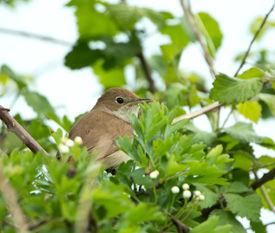 pic of nightingale  - Migrant songbird Nightingale partly concealed in tree - JPG