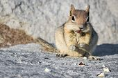 image of chipmunks  - close up of a chipmunk eating peanuts on a rocky surface - JPG