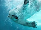 picture of polar bears  - Polar bear attacking underwater with full paw blow details showing the extended claws webbed fingers and lots of bubbles  - JPG