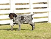 foto of scenthound  - A young beautiful liver black and white ticked German Wirehaired Pointer dog walking on the grass. The Drahthaar has a distinctive eyebrows beard and whiskers and straight harsh wiry coat.