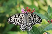 stock photo of butterfly flowers  - Large Tree Nymphs butterfly and flowers - JPG