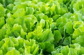 picture of endive  - Closeup of Endive or Cichorium endivia plants ready for harvesting - JPG