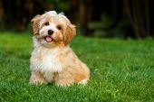 stock photo of dogging  - Happy little orange havanese puppy dog is sitting in the grass - JPG