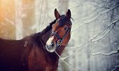 stock photo of beautiful horses  - Portrait of a sports horse in the winter - JPG