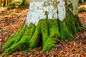 pic of photosynthesis  - Green moss and grey lichens on big beech trunk - JPG
