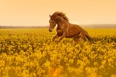 picture of rape  - Beautiful strong horse galloping - JPG