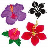picture of hibiscus flower  - hibiscus flowers - JPG