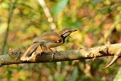 foto of greater  - beautiful Greater Necklaced laughingthrush  - JPG