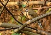 stock photo of greater  - beautiful Greater Necklaced laughingthrush  - JPG