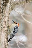 picture of woodpecker  - Red-bellied woodpecker perched on the side of a tree in winter