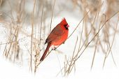 stock photo of cardinal  - Male northern cardinal perched on a branch following a winter storm - JPG