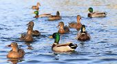 foto of duck  - wild ducks in the lake - wildlife animals