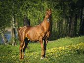 stock photo of arabian horse  - The portrait of the chestnut arabian horse - JPG