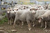 picture of falklands  - Flock of sheep in a wooden corral of a farm on Bleaker Island in the Falkland Islands  - JPG