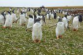 pic of falklands  - Gentoo Penguins  - JPG
