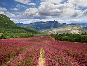 pic of lavender field  - Lavender field in mountains in Provence - JPG