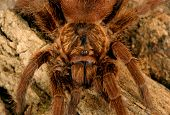 stock photo of exoskeleton  - Caribbean Golden Grey Tarantula  - JPG
