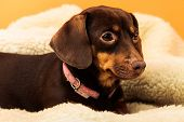 pic of chihuahua mix  - Animals at home. Dachshund chihuahua and shih tzu mixed dog relaxing on bed on woolen blanket indoor ** Note: Soft Focus at 100%, best at smaller sizes - JPG