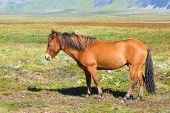 stock photo of iceland farm  - Reddish Icelandic horse with brown mane standing on green grass - JPG