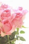 picture of rose close up  - Pink roses against white pretty background close up - JPG