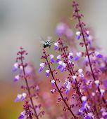 stock photo of common  - Thyreus is an Old World genus of bees - JPG