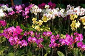 foto of flower pot  - spring flowers beautiful orchid flower pot to decorate in home on Vietnam Tet holiday with vibrant color colorful blossom show at Vietnam flower market - JPG