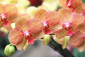picture of yellow buds  - Phalaenopsis - JPG