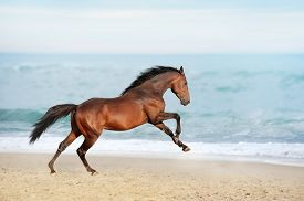 stock photo of fillies  - Beautiful brown horse galloping along the shore of the sea on a summer day. Stallion with long mane jumping on background of ocean