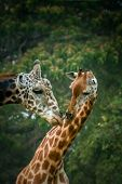 stock photo of mating  - Two African giraffes mating, Mysore zoo, India