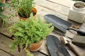 stock photo of fern  - growing fern in a pot with miscelleneous tools  - JPG