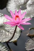 stock photo of water lily  - Beautiful pink water lily close - JPG