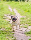 stock photo of pug  - A Cute female pug at a photo session in a park - JPG