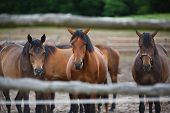 picture of herd horses  - Herd of horses on the meadow at summer time - JPG