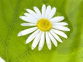 stock photo of chloroplast  - the camomile floats in water on a background of a green sheet - JPG
